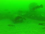 Marine life flourishes following NY pipeline project